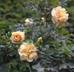 Photo Garden Flowers Beach Rose (Rosa-rugosa), orange