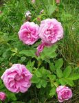 Photo Garden Flowers Beach Rose (Rosa-rugosa), pink