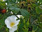 Photo Garden Flowers Beach Rose (Rosa-rugosa), white