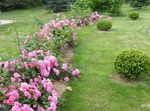 Photo Garden Flowers Rose Ground Cover (Rose-Ground-Cover), pink
