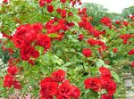 Photo Garden Flowers Rose Ground Cover (Rose-Ground-Cover), red