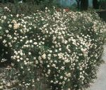 Photo Garden Flowers Rose Ground Cover (Rose-Ground-Cover), white
