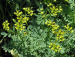Common Rue, Garden Rue, Herb of Grace, Herbygrass