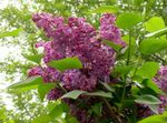 Common Lilac, French Lilac