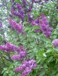 Photo Common Lilac, French Lilac characteristics