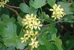 Photo Golden Currant, Redflower Currant (Ribes), yellow