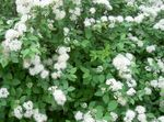Spirea, Bridal's Veil, Maybush