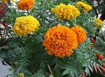 Photo Marigold characteristics