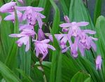 Ground Orchid, The Striped Bletilla