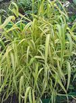 Photo Garden Flowers Bowles Golden Grass, Golden Millet Grass, Golden Wood Mille (Milium effusum), green