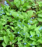 Photo Garden Flowers False forget-me-not (Brunnera macrophylla), light blue
