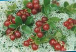 Photo Garden Flowers Lingonberry, Mountain Cranberry, Cowberry, Foxberry (Vaccinium vitis-idaea), red