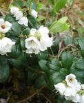 Photo Garden Flowers Lingonberry, Mountain Cranberry, Cowberry, Foxberry (Vaccinium vitis-idaea), white