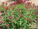 Photo Jupiter's Beard, Keys to Heaven, Red Valerian characteristics