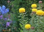 Yellow Hardhead, Bighead Knapweed, Giant Knapweed, Armenian Basketflower, Lemon Fluff Knapweed