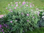 Photo Persian Cornflower, Knapweed (Centaurea dealbata), pink