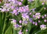 Meadow rue