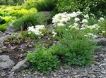 Photo Garden Flowers Thalictrum petaloideum , white
