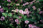 Photo Garden Flowers Crown Vetch (Coronilla), pink