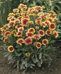 Photo Blanket Flower characteristics