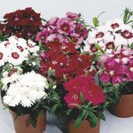 Photo Garden Flowers Dianthus, China Pinks (Dianthus chinensis), burgundy