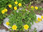 Photo Garden Flowers Rock rose (Helianthemum), yellow