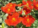 Photo Rock rose characteristics