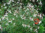 Photo Garden Flowers Bowmans root,  (Gillenia trifoliata), white
