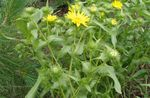 Photo Curly Cup Gumweed characteristics