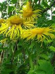 Photo Showy Elecampagne, Elecampane Magnificent characteristics