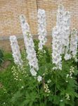 Photo Delphinium characteristics