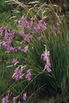 Photo Angel's fishing rod, Fairy Wand, Wandflower (Dierama), lilac