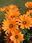 Photo Garden Flowers Cape Marigold, African Daisy (Dimorphotheca), orange