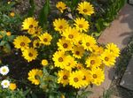 Photo Garden Flowers Cape Marigold, African Daisy (Dimorphotheca), yellow