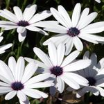 Photo Garden Flowers Cape Marigold, African Daisy (Dimorphotheca), white