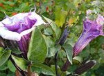 Photo Garden Flowers Angel's trumpet, Devil's Trumpet, Horn of Plenty, Downy Thorn Apple (Datura metel), lilac