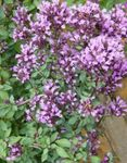 Photo Garden Flowers Oregano (Origanum), lilac