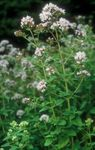 Photo Garden Flowers Oregano (Origanum), white
