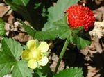 Photo Garden Flowers Indian Strawberry, Mock Strawberry (Duchesnea indica), yellow