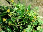 Photo Garden Flowers Great Yellowcress (Rorippa), yellow