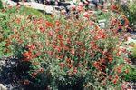Photo Narrowleaf California Fuchsia, Hoary Fuchsia, Hummingbird Trumpet characteristics