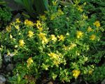 Photo Garden Flowers Hypericum olimpicum , yellow