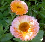Photo Pot Marigold characteristics
