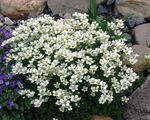 Photo Garden Flowers Saxifraga , white