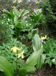 Photo Garden Flowers Fawn Lily (Erythronium), yellow