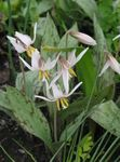 Photo Garden Flowers Fawn Lily (Erythronium), white