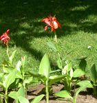 Photo Canna Lily, Indian shot plant characteristics