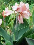 Photo Garden Flowers Canna Lily, Indian shot plant , pink