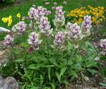 Photo Garden Flowers Indian Paintbrush (Castilleja), lilac