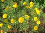 Photo Garden Flowers Cladanthus , yellow